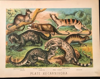Wild Cats and the Zenick - 1880 Antique Print, Plate XII: Carnivora, Original Color Lithograph
