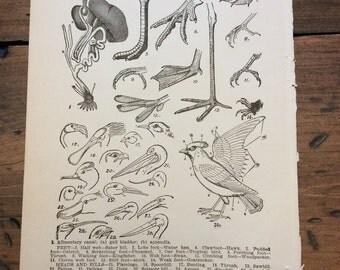 Antique Print, Audubon, Bird Anatomy, Book Page, Lithograph (B582)