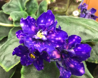 African Violet Cosmic Legend 2 Pair of Leaves