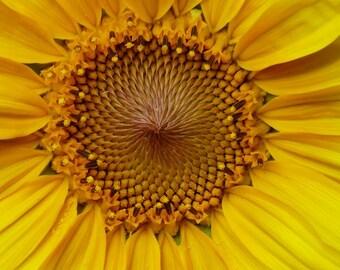 Greeting Card:  Sunflower 4 x 6 Blank Card Ecru