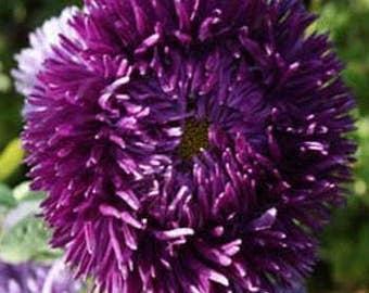 Dark Violet Aster Flower Seeds/Tall Double Gremlin Callistephus/Annual    30+