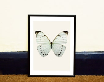White Butterfly Framed Insect Print