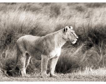 lioness, wildlife photography, large wild cat, nature photography, Kenya, Africa, lion art print, fine art photography, nature home decor