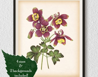 Columbine, 8x10, 11x14, A3, A4 print, Aquilegia, Digital print art, Flower art, Flower print, Flower wall decor, Botanical print vintage #55