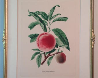 Framed vintage French lithograph Peche Precoce Chevallier study of a peach in gilded hand carved frame w fruits and leaves ornament