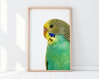 Parrot, Budgerigar, Common Pet Parakeet, Shell Parakeet, Budgie, Parrot Print, Parrot Art, Parrot Photography, Baby Nursery, Nursery Room