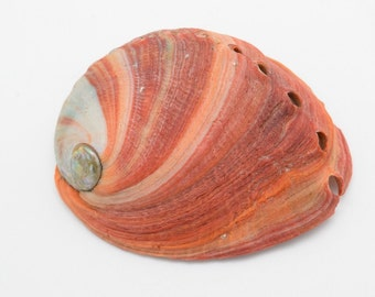 Mexican Red Abalone Shells 4-5""
