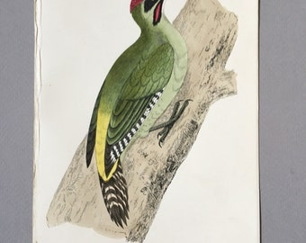 Antique Bird Print from 1890 of a green woodpecker, great gift for ornithology lovers.