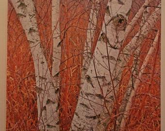 Birch Trees - 16x20 canvas