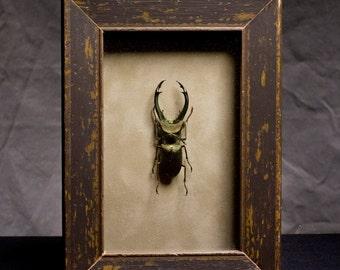 Stag Beetles - Framed