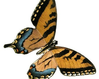 Tiger Swallowtail Butterfly - B2