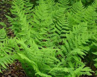 Eastern Fern Collection, 15 ferns one low price, free ship USA, world wide shipping 30% off sale