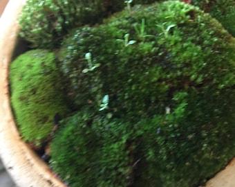 Moss live terrarium indoor plants fairy gardens