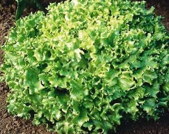 50 Organic Lettice - Leaf Seeds Heirloom Non-GMO ''Tango''