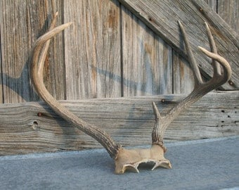 Real Deer Antlers / Deer Horns / Deer Rack #4