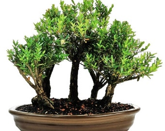 Bonsai Buxus Forest 5 trees
