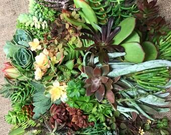 60 Living Succulent Plant Cuttings