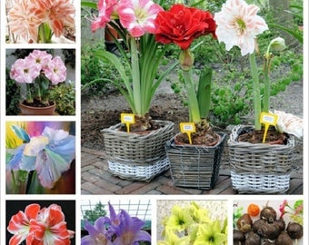 MIX 2Bulb True amaryllis bulbs,hippeastrum flowers,hippeastrum bulbs,bonsai flower bulbs,Barbados Lily potted home garden plant