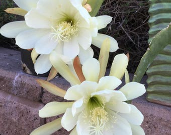 Cremate Epiphyllum Cutting