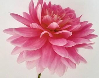 Fluffy Pink Dahlia