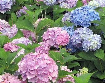 One Hydrangea All Summer Beauty Garden Live Plant for Cottage Gardens