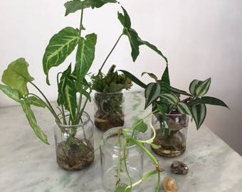 Tropical Water Plants / collection of 10 sorts / Hydroponic