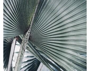 Nature Photograph - Palm Tree Art - Tropical Print - Botanical Art Print - Blue Bismarck #1 - Fine Art Photo - California Art - Florida Art