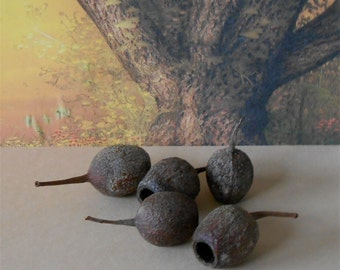 Seed Pods~Dried Seed Pods~Set of 6~1- 1 1/2 Inch Seed Pods~Floral Supply~Fairy Garden Fairy Lantern~Australian Gum Tree~Gum Nuts