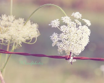 Queen Ann Lace, photography, home decor