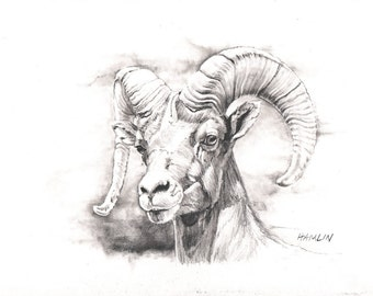 Bighorn Ram Study - Open edition print of an original drawing