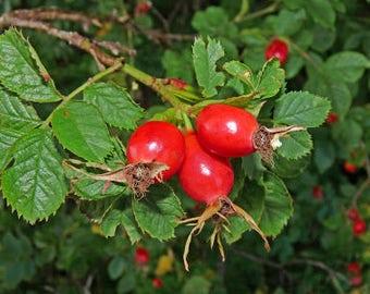 Rosehip Powder Organic 3.5oz (100g)