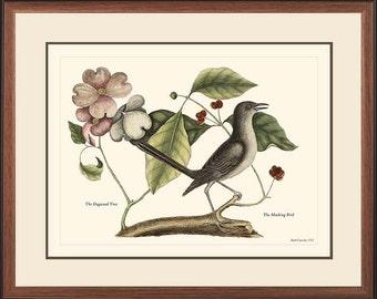 MOCKING BIRD - Catesby Vintage bird print reproduction 27