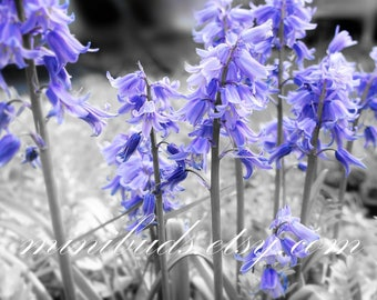 Bluebells 'The Dusty Bluebells' digital download. Nature photography, botanical wall art. NOT A PHYSICAL ITEM.