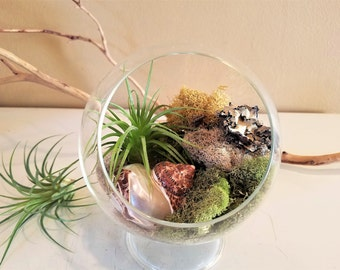 Air plant terrarium - Glass terrarium - Footed glass terrarium - Moss- Air plant- Sea shell - Mothers day gift