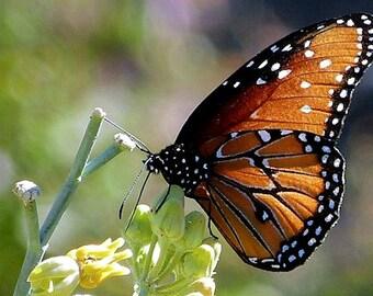 Asclepias subulata, Desert Milkweed, 20 rare seeds, Monarch host, drought tolerant, silver stems