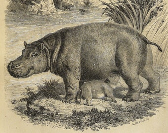 1855 Antique print of HIPPOPOTAMUS. HIPPO. African animals. Savanna animals. Natural History. Zoology. 162 years old rare engraving