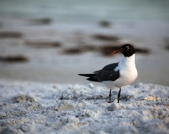 Sandpiper, Honeymoon Island
