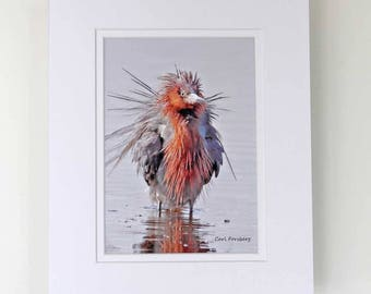 Photograph - 5 x 7 - Reddish Egret