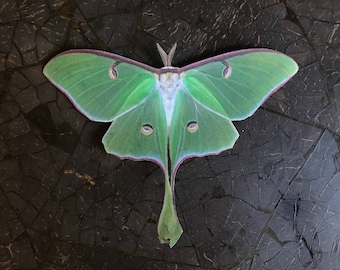 Wall Art Decor Luna Moth Sticker - Insect Decal - Bug Collection Laptop Sticker - Luna Moth Decal