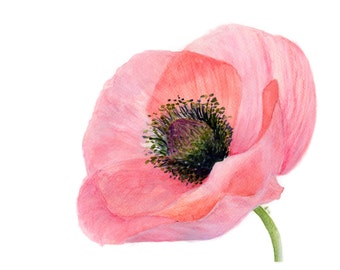 Delicate Pink Poppy