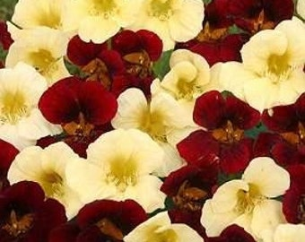 ANA) NIGHT and DAY Nasturtium~Seeds!!!~~~~~Lovely Cream & Mahogany Contrasts!