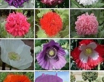 APO)~POPPY-LOVER Ii All of Us Mix~Seed!!!!~~35+ Varieties!