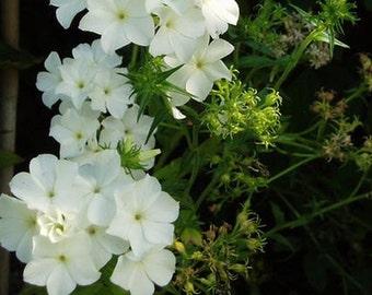 PBPHD)~WHITE PHLOX Drummondii~Seeds!!!!~~~Pristine!
