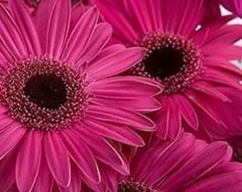 ADGF)~FESTIVAL HOT Pink Gerbera Daisy~Seed!!!!~~~~~Great for Cutting!