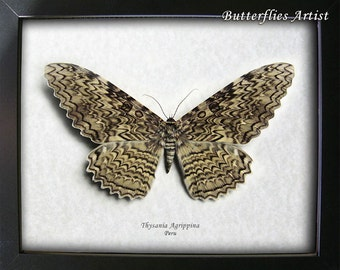 Giant Real White Witch Moth Thysania Agrippina Framed In Museum Quality Shadowbox