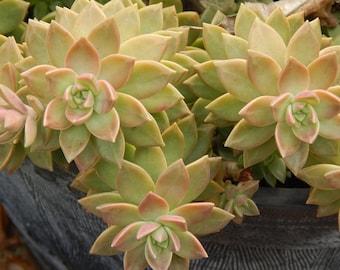 Hens and Chicks (Simpervivum) Starter Plants