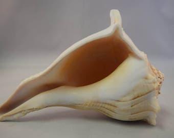 "Natural Left Hand Whelk Sea Shell Beach Home Decor 7"" - 8"" (1 pc)"