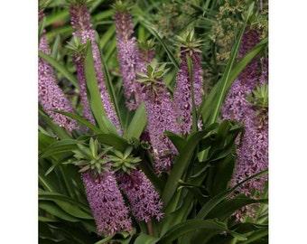 Reuben Pineapple Lily - 3 Bulbs 16/+ cm - Eucomis