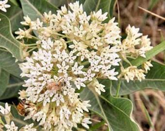 Asclepias hallii Halls Milkweed 10 seeds