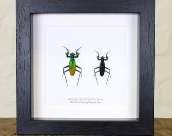 Metallic Praying Mantis Pair in Box Frame (Metallyticus Splendidus)
